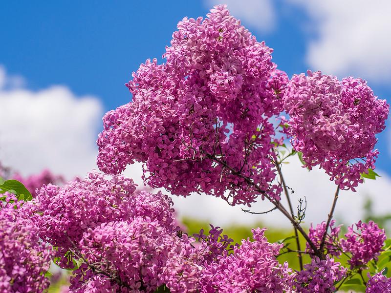 Lilacsintheskydaily.jpg