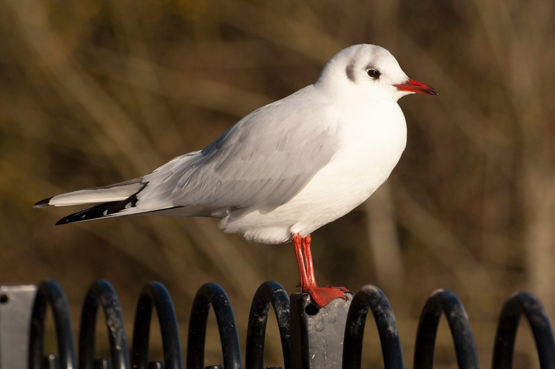 Black-headed Gull (nB).jpg