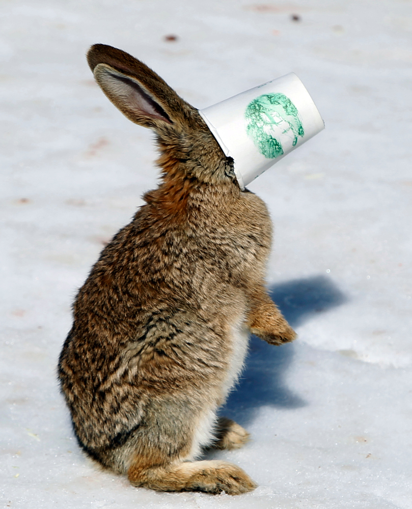 . A rabbit trying to eat food gets stuck to the bottom of a cup during a snow carnival in Beijing, China, Monday, Jan. 31, 2011. (AP Photo/Ng Han Guan)