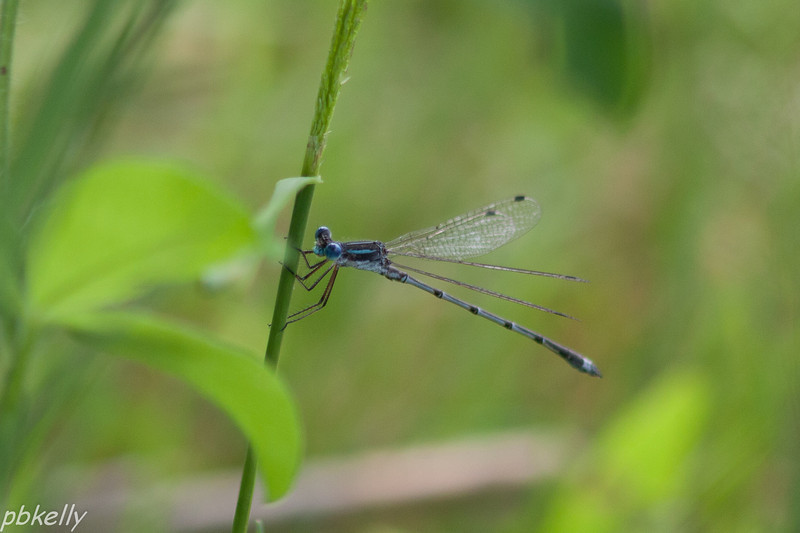 July 6.  Spreadwing around the pond.