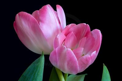 Tulips New