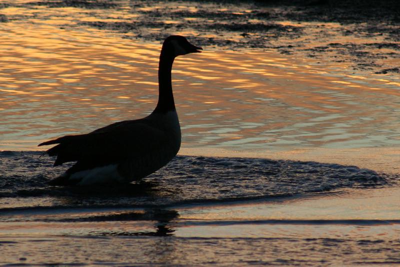 Canada Goose Dawn.JPG