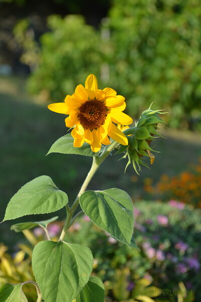 Sunflower Lonay_20092020 (9).JPG