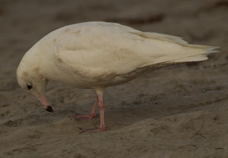 Glaucous Gull Oceanside  2014 02 26-9.CR2
