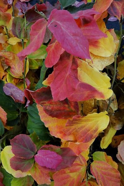 Parrotia persica 'Lamplighter'