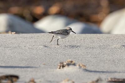 Sandløper (Sanderling)