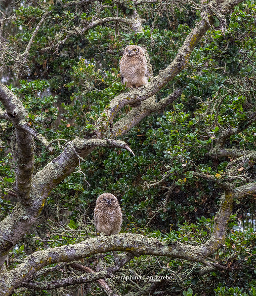 _DSC7550Two owls in Oak.jpg