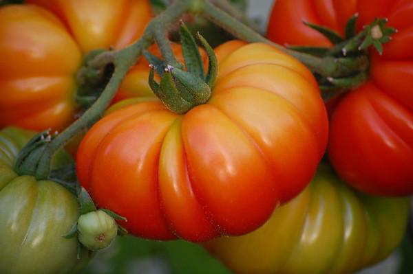 Tomato Season 2009