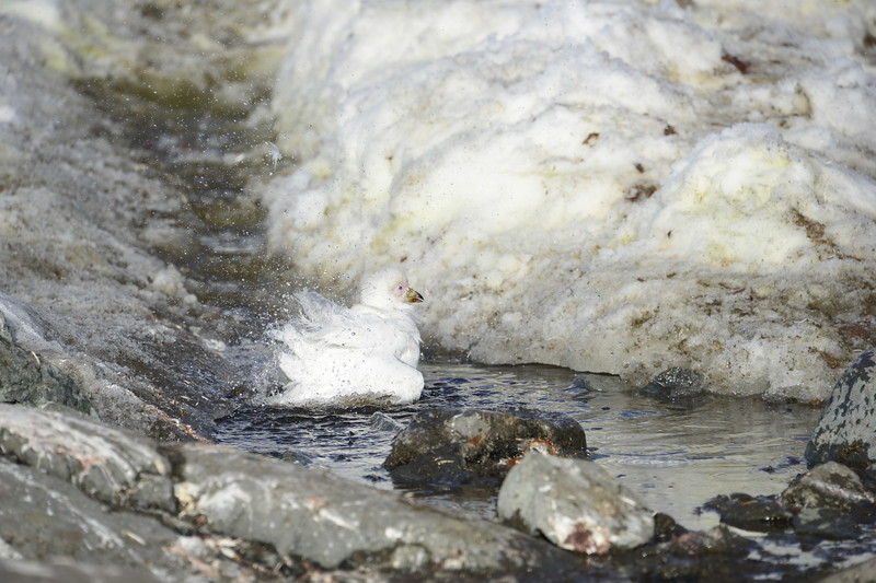 20190222-GDM-Skontorp Cove-Shethbill bathing.JPG