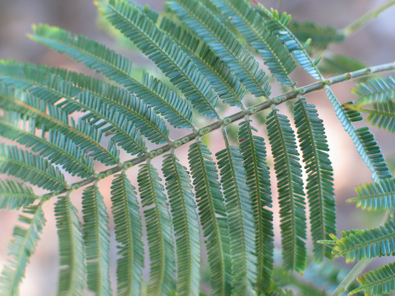 Acacia mearnsii / Black Wattle