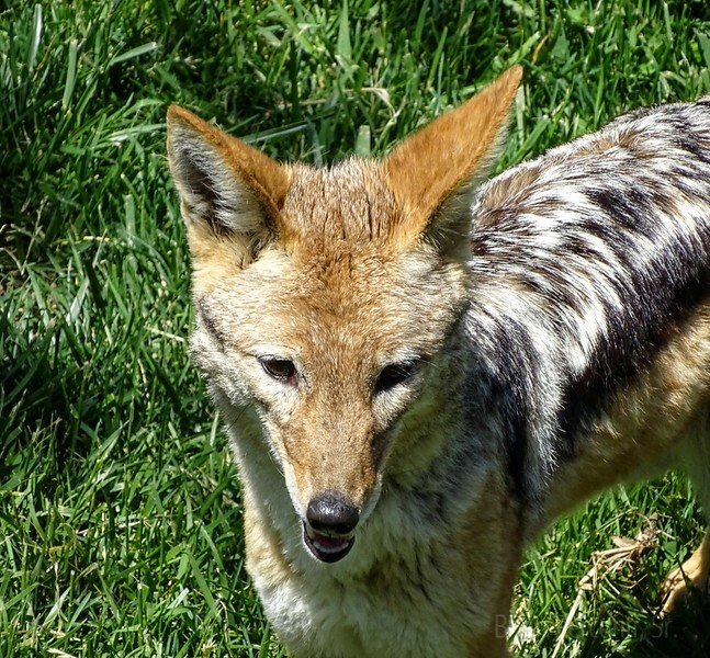 Jackal Columbus Zoo