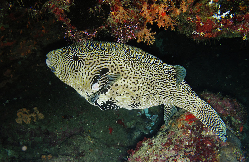 IMG_7659Ar_Pufferfish.JPG