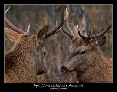 Ungulates (e.g. elk, moose, deer)