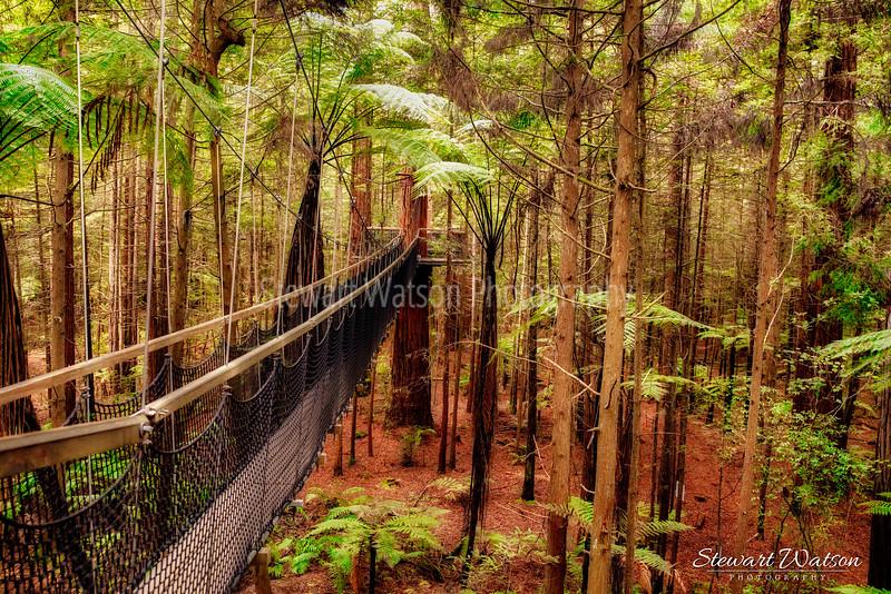 Redwoods at Whakarewarewa Forest in Rotorua