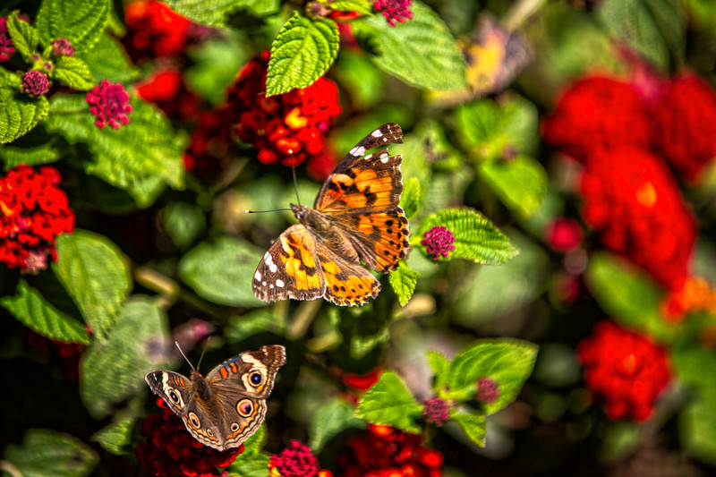 Common Buckeye and Painted Lady butterflies