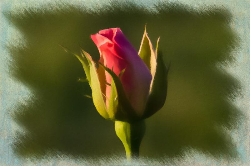 April 4 - Budding rose.jpg