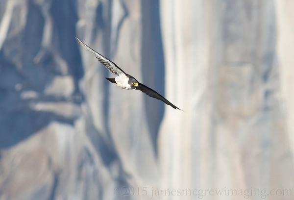 Yosemite Birds