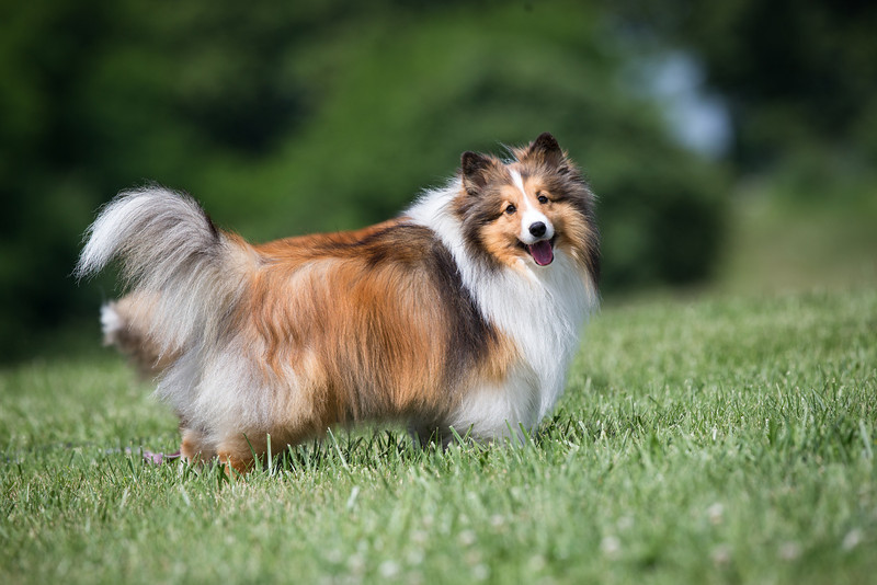 14_0617_Hawkshelties_ww-5803.jpg