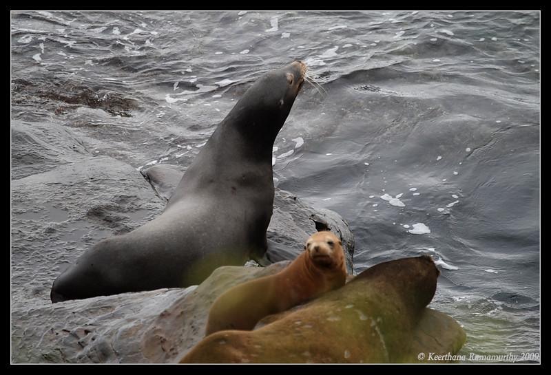 California Sea lions, La Jolla Cove, San Diego County, California, May 2009