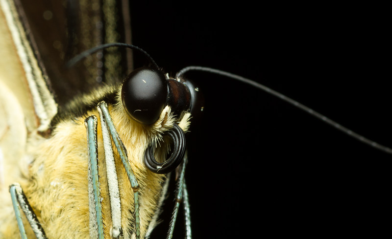 Close-up portrait of a recently deceased butterfly from Costa Rica.
