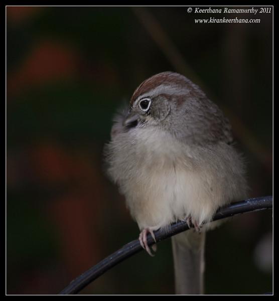 Rufous-crowned Sparrow at the Madera Kubo feeders, Madera Canyon, Arizona, November 2011