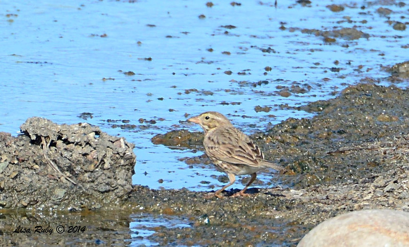 Large-billed Savannah Sparrow - 1/18/2014 - Salt Works.