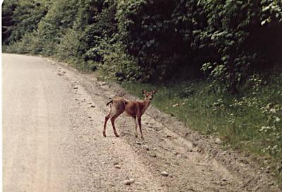 Coastal (Sitka) Black-tailed Deer
