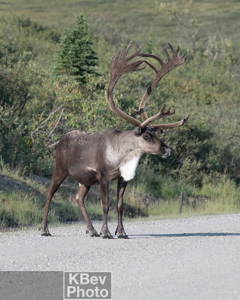 Alaska Animals (Aug 19)