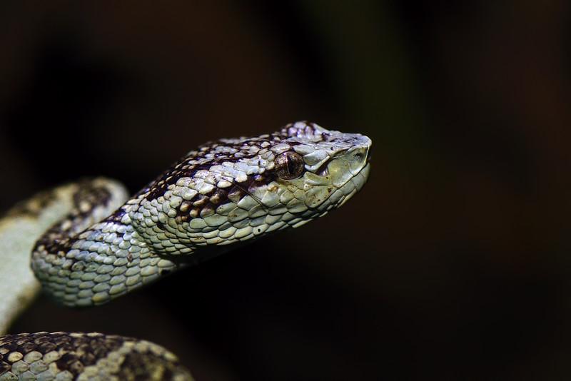 Malabar-Pit-Viper-Green-Morph.jpg