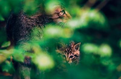Wildcat with kitten