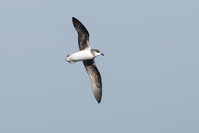 2014 August 31 Eaglehawk Neck Pelagic