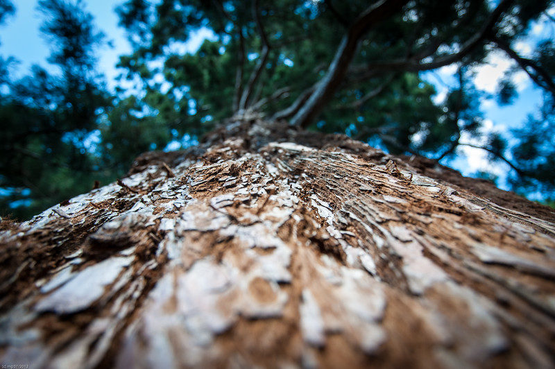 Mammutbaum / Sequoia