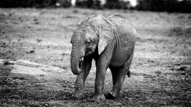 Kenyan Baby Elephant 1 B&W