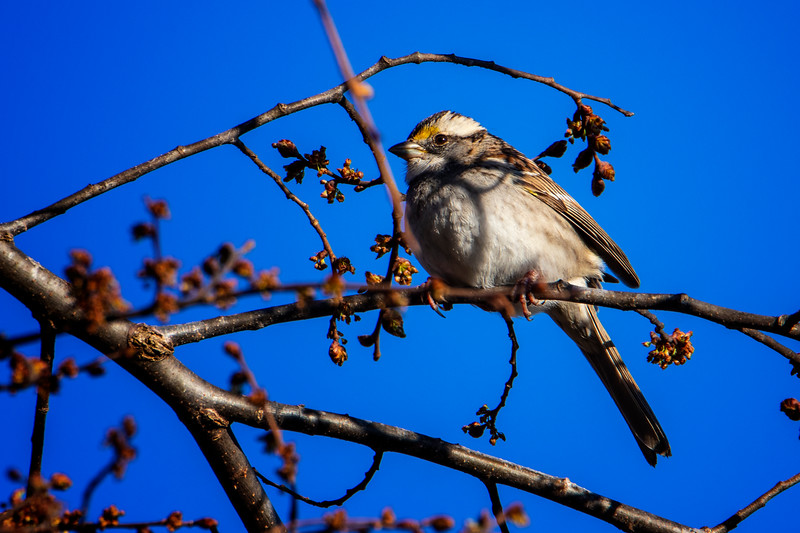 2.24.19 - Prairie Creek Marina: White-Throated Sparrow