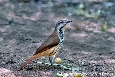 Brown-backed Scrub Robin, Samburu Kenya
