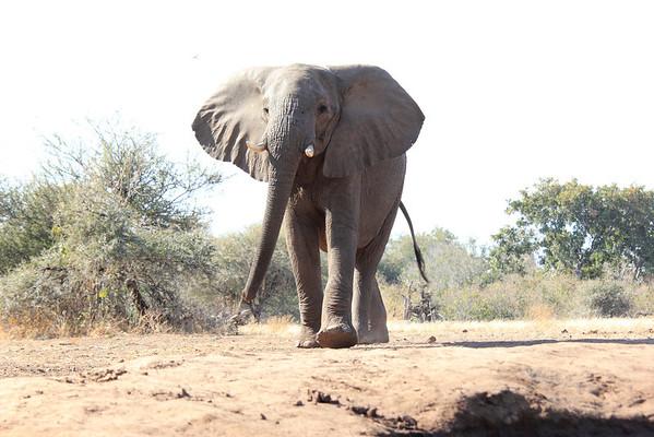 Elephant with Attitude Mashatu Botswana 2013