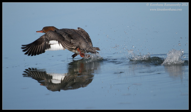 Female Red-breasted Merganser taking off, Robb Field, San Diego River, San Diego County, California, February 2012