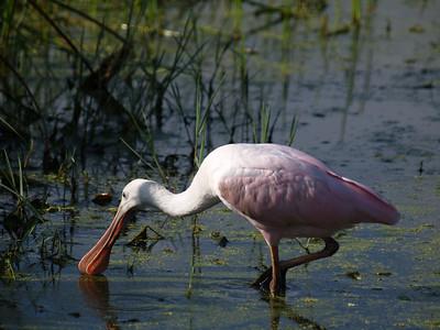 South Florida Birds