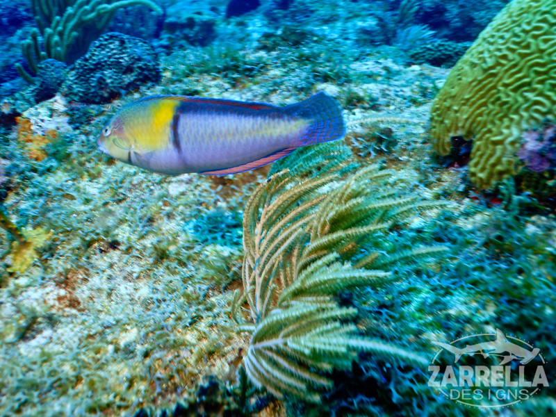 """Rainbow Parrotfish"" (Fishbowl Reef, St. Maarten)"