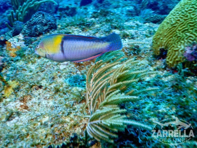 """Rainbow Parrotfish"" (Fishbowl Reef, St. Maarten)"