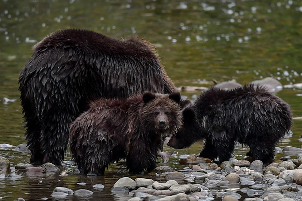 9-19-18 Grizzly Bear Family