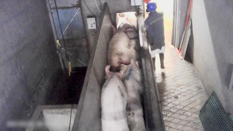 cochons-couloir-mort-entasses.png