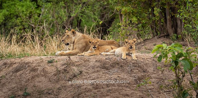 Bili_Lion-n-cubs_1256-web.jpg