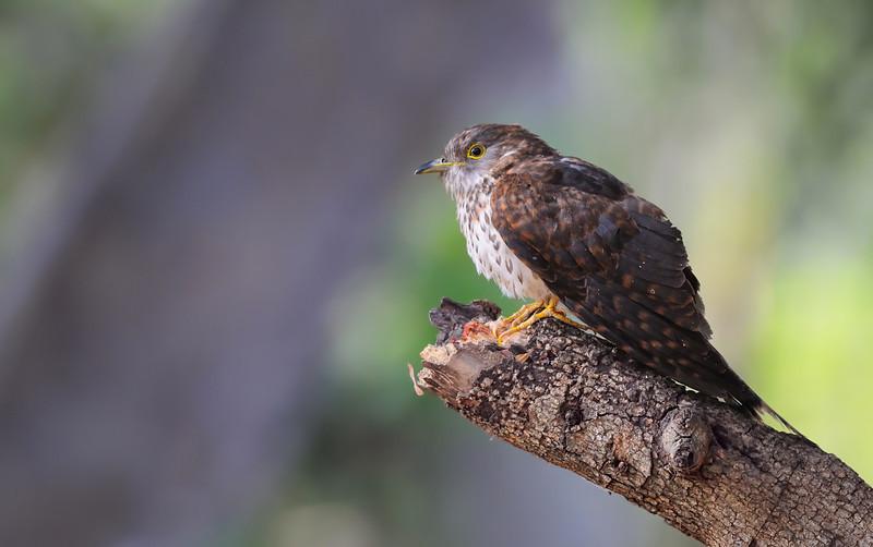 Common Hawk Cuckoo....a profile....