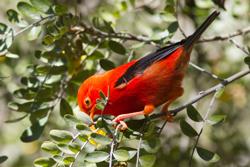 Iiwi - Hosmer Grove, Haleakala NP, Maui, Hawaii