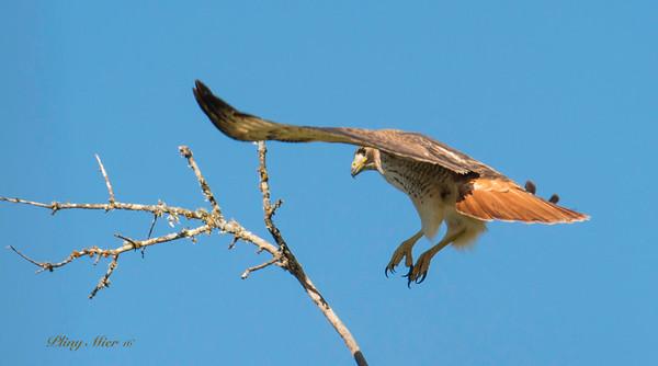 Red-tail landing_DWL8171.jpg