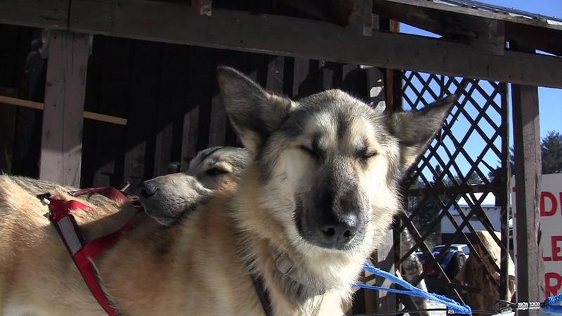 Sled Dog rides.m4v