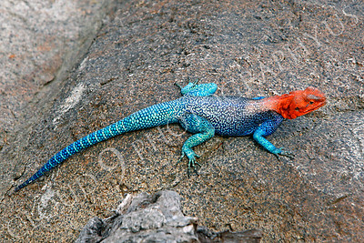 Red-headed Rock Agama Wildlife Photography