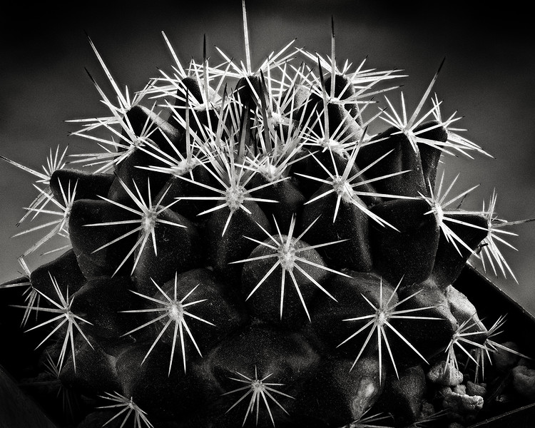 starry cactus