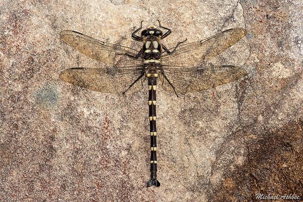 Mountain Giant Dragonfly (Uropetala chiltoni)